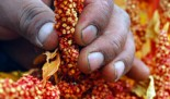 Quinua: sembrando futuro en Perú
